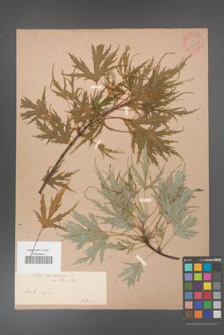 Acer saccharinum [KOR 33624]