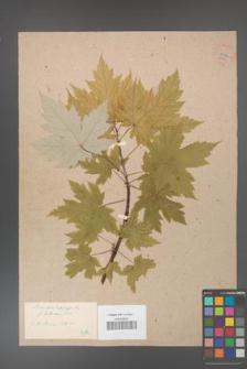 Acer saccharinum [KOR 33621]