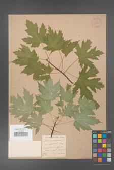 Acer saccharinum [KOR 33622]