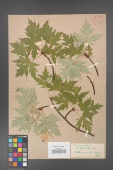 Acer saccharinum [KOR 33623]