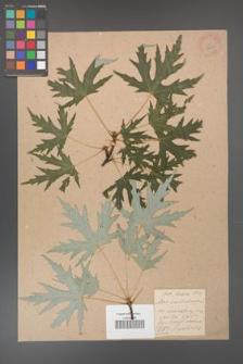 Acer saccharinum [KOR 33620]