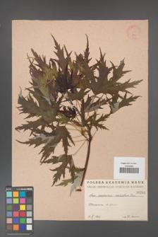 Acer saccharinum [KOR 241]