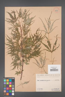 Acer saccharinum [KOR 249]