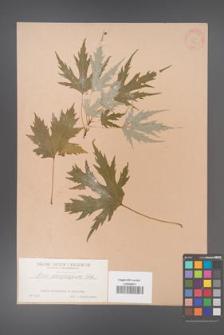 Acer saccharinum [KOR 243]