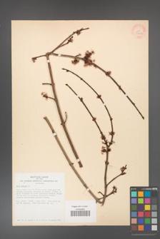 Acer rubrum [KOR 33604]