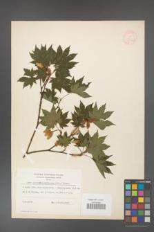 Acer pseudo-sieboldianum [KOR 11542]