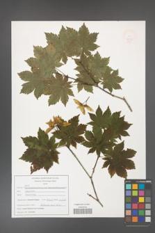 Acer pseudosieboldianum [KOR 47531]