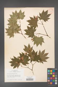 Acer pseudo-sieboldiana [KOR 33590]