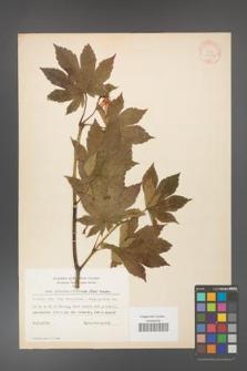 Acer pseudo-sieboldianum [KOR 11540]
