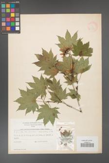 Acer pseudo-sieboldianum [KOR 11538]