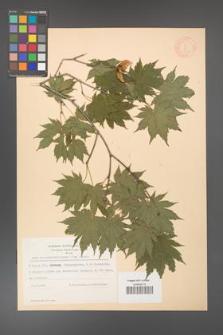 Acer pseudosieboldianum [KOR 11545]