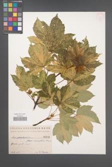 Acer pseudoplatanus [KOR 213b]