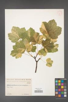 Acer pseudoplatanus [KOR 216]