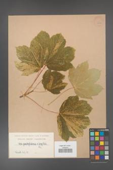 Acer pseudoplatanus [KOR 406a]