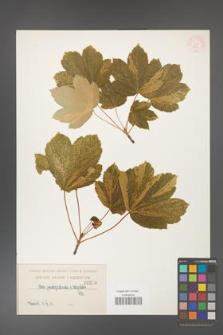 Acer pseudoplatanus [KOR 210]