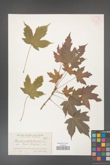 Acer pseudoplatanus [KOR 217]