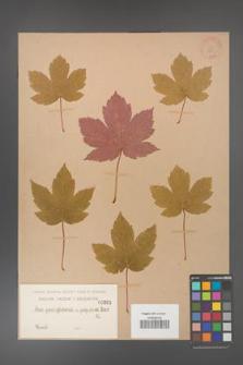 Acer pseudoplatanus [KOR 201]
