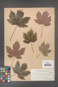 Acer pseudoplatanus [KOR 202]