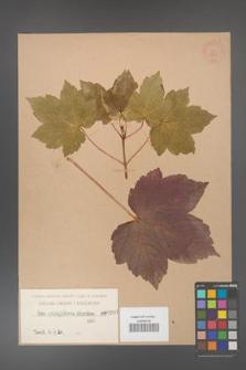 Acer pseudoplatanus [KOR 207]