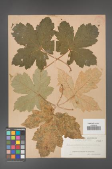 Acer pseudoplatanus [KOR 208]