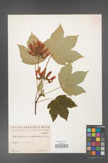 Acer pseudoplatanus [KOR 212]