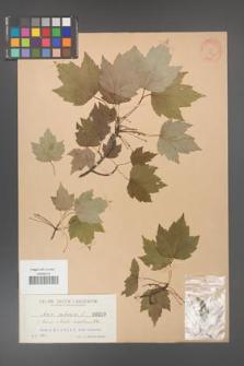 Acer rubrum [KOR 19a]