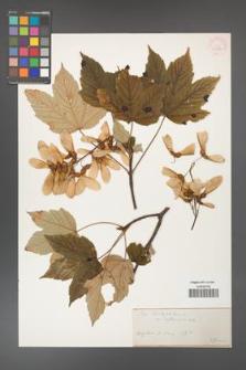 Acer pseudoplatanus [KOR 33576]