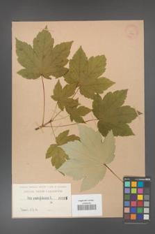 Acer pseudoplatanus [KOR 196]