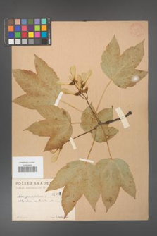 Acer pseudoplatanus [KOR 1627]