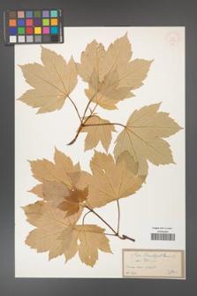 Acer pseudoplatanus [KOR 33583]