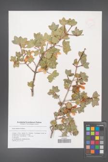 Acer sempervirens [KOR 47359]