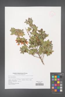 Acer sempervirens [KOR 47357]