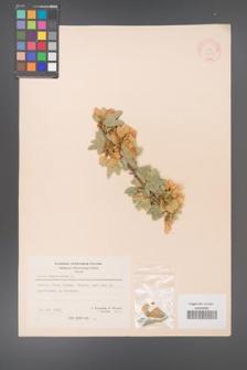 Acer sempervirens [KOR 20901]