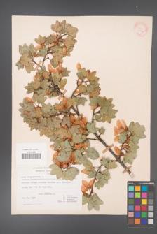 Acer sempervirens [KOR 20905]