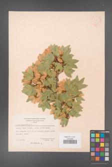 Acer sempervirens [KOR 20903]