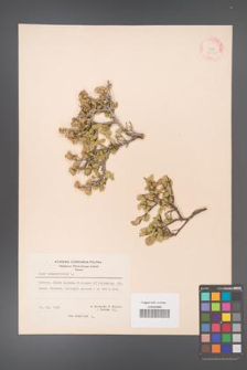Acer sempervirens [KOR 20902]