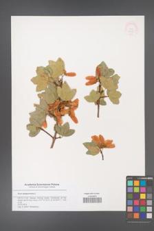 Acer sempervirens [KOR 48799]