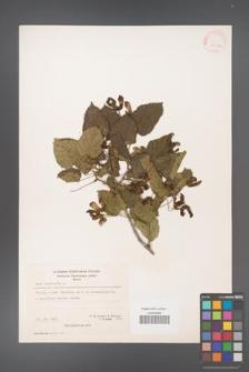 Acer tataricum [KOR 20936a]