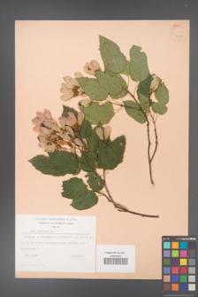Acer tataricum [KOR 23829]