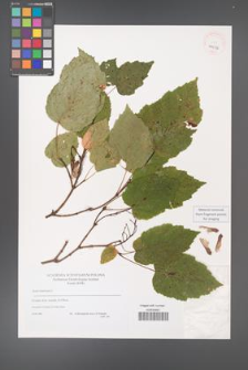 Acer tataricum [KOR 40036]