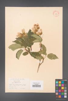 Acer tataricum [KOR 11505]