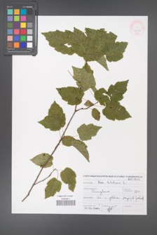Acer tataricum [KOR 46903]