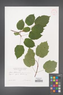 Acer tataricum [KOR 38054]
