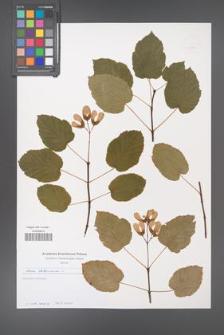 Acer tataricum [KOR 49723]