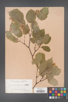 Acer tataricum [KOR 151]