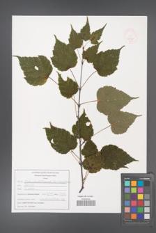 Acer stachyophyllum [KOR 47538]
