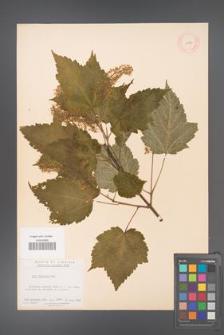 Acer spicatum [KOR 11487]