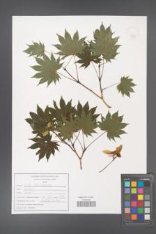 Acer shirasavanum [KOR 47522]