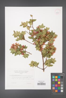 Acer sempervirens [KOR 41335]