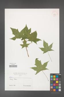 Acer [KOR 40264]